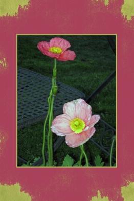 oriental-poppies.jpg
