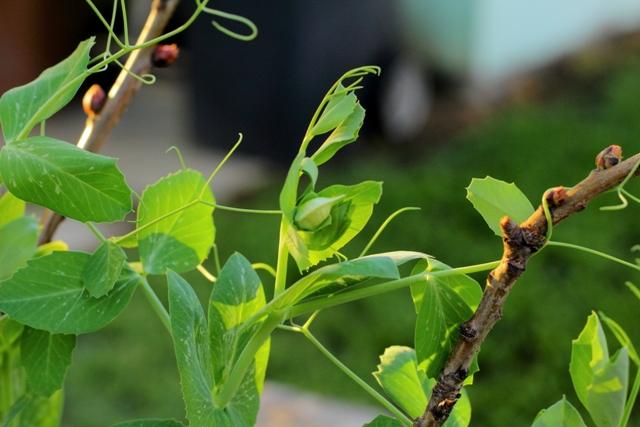 Pea vines web