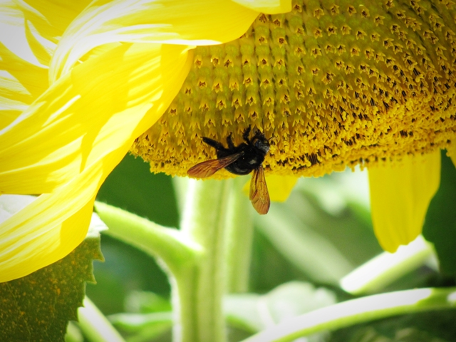 Bee and Sunflower web
